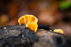 Little mushrooms on a fallen tree 🍁🍄🌳 (Martin Bärtges) Tags: natur naturephotography naturfotografie naturliebhaber naturelovers nature herbstfarben herbst autumn autumncolors outside outdoor drausen makrofotografie makro makroliebhaber macro macrolovers macrophotography spiegelreflexkamera nikonphotography nikonfotografie d4 nikon germany deutschland funghi farbenfroh colorful woods forest moos moss baumstumpf wald gefällt bäume baum fallen tree pilze mushroom