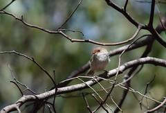 Superb fairy wren female (Linda M Hurley) Tags: bird birds australia victoria fairywren wren