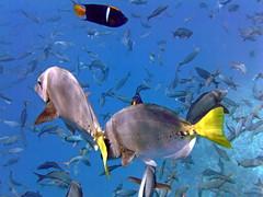 Yellowtail Surgeonfish (xd_travel) Tags: 2014 galapagos mssamba underwater uw snorkeling