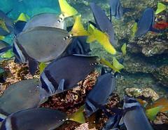 Yellowtail Surgeonfish (xd_travel) Tags: 2014 galapagos mssamba underwater uw snorkeling yellowtailsurgeonfish surgeonfish