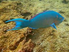 Blue-chin Parrotfish (xd_travel) Tags: 2014 galapagos mssamba underwater uw snorkeling