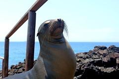 Galapagos sea lion (xd_travel) Tags: 2014 galapagos mssamba sealion galapagossealion