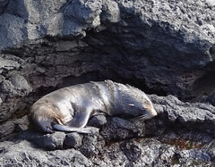 Baby Fur Seal trying to find shade (xd_travel) Tags: 2014 galapagos mssamba seal furseal