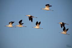 American avocets (trishlyon) Tags: nikon bird wildlife nature birdsinflight flight americanavocet avocet americancanyonwetlands wetland