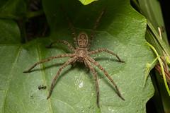 spider (Ron Winkler nature) Tags: spider arachnid arthropod indonesia bali asia wildlife nature canon 100mm macro 5div