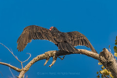 Turkey Vulture Spreading Wings to Warm Up in Colusa, California (Lee Rentz) Tags: colula colusasacramentoriverstaterecreationarea sacramentoriver agr america animal behavior bird birding birdwatching branches buzzard california cathartesaura centralvalley communal communalroost dark drying early feathers forest heatgain horizontal limbs morning nature northamerica perched perching recreationarea redhead roost roosting scavenger scavenging social spreadwing statepark staterecreationarea tree turkeybuzzard turkeyvulture usa vulture vultures warmingup wild wildlife wings