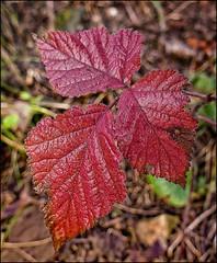 191211-1 (sz227) Tags: blätter blatt leav herbstfarben herbst herbstblätter sz227 zackl lumixfz1000 lumix