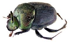 Onthophagus aeruginosus Roth, 1851 Male (urjsa) Tags: coleoptera käfer beetle insect scarabaeidae onthophagus aeruginosus onthophagusaeruginosus kenia kenya taxonomy:binomial=onthophagusaeruginosus taxonomy:family=scarabaeidae taxonomy:genus=onthophagus taxonomy:species=aeruginosus geo:country=kenya taxonomy:order=coleoptera coleopteraus kaefer insekt