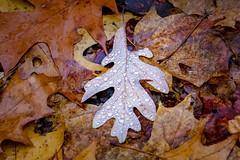 Wrong side up (Notkalvin) Tags: leaves leaf oak trees forest leaflitter moisture beads water fog mist michigan nature notkalvin mikekline forestfloor observation outdoors nopeople adventures hiking wild wilderness