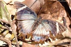 8824 (laba laba) Tags: ipassa research station ipassaresearchstation ivindo national park ivindonationalpark africa gabon rainforest nature macro closeup butterfly insect euphaedra preussi euphaedrapreussi