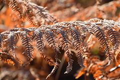 Fougère givrée (Croc'odile67) Tags: nikon d3300 sigma contemporary nature automne autumn givre plante forest forets