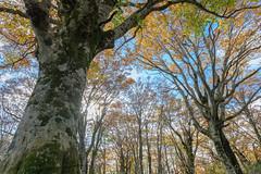 氷ノ山62・Mt.Hyonosen (anglo10) Tags: 養父市 兵庫県 japan 氷ノ山 山 但馬 mountain 紅葉 autumnleaves 森林 forest