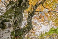 氷ノ山64・Mt.Hyonosen (anglo10) Tags: 養父市 兵庫県 japan 氷ノ山 山 但馬 mountain 紅葉 autumnleaves 森林 forest