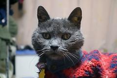 """Where's my extra food?"" (sjrankin) Tags: 11december2019 edited kitahiroshima hokkaido japan animal cat zoom argent tunic bed bedroom curtains"