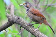大彎嘴畫眉 (mikleyu) Tags: 鳥 動物 自然