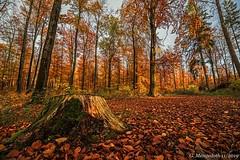 Herbstwald (günter mengedoth) Tags: irix15mmf24blackstone irix 15mm f24 blackstone herbst wald baum blatt autumn