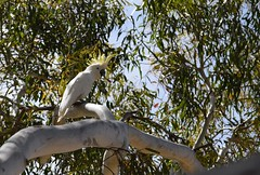 Sulphur crested cockatoo (Linda M Hurley) Tags: bird birds australia victoria sulphurcrestedcockatoo