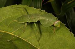 Hooded Mantis Nymph (Rhombodera sp., Mantidae) (John Horstman (itchydogimages, SINOBUG)) Tags: insect macro china yunnan itchydogimages sinobug entomology canon praying mantis hooded nymph mantidae green