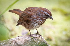 Thinking of a Song (TW Olympia) Tags: song sparrow nisqually national wildlife refuge