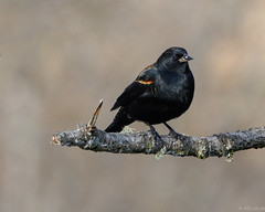 Out on a limb. (Picture-Perfect Pixels) Tags: redwingedblackbird bird nature wildlife animal backyard treebranch black shinycoat