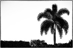 Palm Tree Silhouette (peterrath) Tags: abstract bw palm tree nature blackandwhite sun sky
