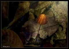 Fungus (VERODAR) Tags: fungus macro closeup nature junglefloor jungle rainforest nikon veronicasridar verodar