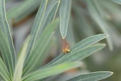 Mosquita de ojos verdes (esta_ahi) Tags: penedès mosca mosquita diptera insectos fauna euphorbia characias euphorbiacharacias euphorbiaceae flora plantas silvestres olèrdola barcelona spain españa испания