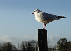 Seagull perch (Tony Worrall) Tags: bird wild wildlife standing perch outdoors feathers cute life creature symmetry minimalism nature natural welovethenorth nw northwest north update place location uk visit area attraction open stream tour photohour photooftheday pics country item greatbritain britain british gb capture buy stock sell sale outside dailyphoto caught photo shoot shot picture captured ilobsterit instragram england