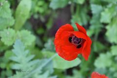 Poppy (David Lev) Tags: nirim mygarden flower wildflower macro