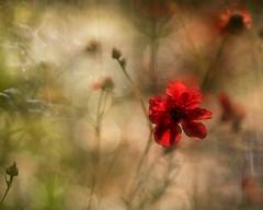 Memories of summer (Expose Photography uk) Tags: summersday warm fineart outdoors closeup macro nature summergarden summer garden redflower flora flower flowers