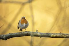 Robin (Benjamin Joseph Andrew) Tags: one lone individual bird passerine songbird woodland forest autumn fall season orange yellow perching