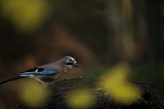 Jay (Benjamin Joseph Andrew) Tags: bird crow corvid woodland forest autumn autumnal one lone single individual perching