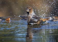 Otoño en el bebedero V (Alberto.G.Santervás) Tags: nature birds aves