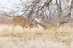 December 8, 2019 - Battling white-tailed deer bucks. (Tony's Takes)