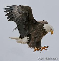 December 8, 2019 - Bald eagle set for landing. (Bill Hutchinson)