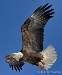December 3, 2019 - Bald eagle takes flight in Adams County. (Bill Hutchinson)