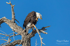 December 1, 2019 - Even bald eagles have to itch. (Tony's Takes)