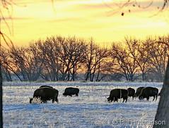 December 1, 2019 - Bison graze at sunrise. (Bill Hutchinson)