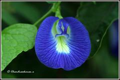 9434 - butterfly pea  clitoria ternatea சங்குப் பூ (chandrasekaran a 64 lakhs views Thanks to all.) Tags: nature india chennai eos macro tamron90mm flowers butterflypea clitoreaternatea blue canoneos80d சங்குப்பூ