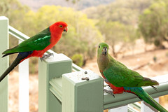 Pair of Parrots (armct) Tags: bunyamountains alisterisscapularis kingparrot pair lifelong breeding parrot bird native indigenous australian queensland
