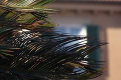 Palme (fotomie2009) Tags: liguria italy italia riviera ligure ponente savona vado palme branches rami finestra window bokeh palm