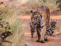 Tadoba Andhari Tiger Reserve | Tadoba Tiger Sightings (itsstevemark006) Tags: wildlife safari tiger animals tigersightings jeepsafari elephantsafari national park travel entertainment explorers nature