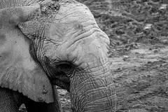 IMG_1480-2s (K-pyrow) Tags: elephant zoo beauval noir et blanc