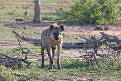 Spotted Hyena (Crocuta crocuta) Пятнистая гиена (Mikhail & Yana) Tags: krugernationalpark nature wildlife animal mammal spottedhyena