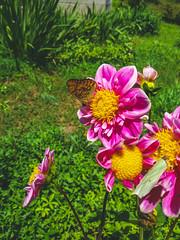 (Jelena1) Tags: dahlia asteraceae dalija dahlien georginen георги́на dahliasläktet georgina flower flor fleur cvet blomma blüte bloom biljka plant plante flora växt pflanzen priroda nature naturaleza natur leto été verano summer sommar sommer serbia srbija leptir butterfly papillon fjäril vlinder schmetterling farfalla mariposa бабочка pianta zomer