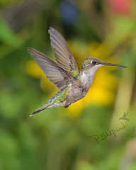 Summer Memories    7-17-19_057 (pmsswim) Tags: summermemories rubythroatedhummingbird archilochuscolubris colibri inthegarden summer july 2019