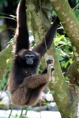 Gibbon (Alan1954) Tags: ape primate gibbon borneo sabah malaysia holiday 2018 kotakinabalu zoo