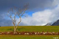 Le solitaire. (myrtillepm) Tags: jarsy arbres tree automne autumn ciel sky savoie massifdesbauges landscape paysages