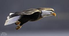 Bald Eagle December 10 2019 (TD Cole) Tags: baldeagle birds eagle wildlife elite nature raptors bird birdsofprey naturephotography wildlifephotography baldeagles idaho
