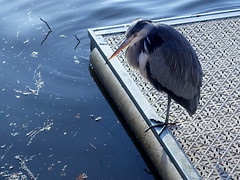 Heron on one leg (Tony Worrall) Tags: bird wild wildlife standing perch outdoors feathers cute life creature symmetry minimalism nature natural welovethenorth nw northwest north update place location uk visit area attraction open stream tour photohour photooftheday pics country item greatbritain britain british gb capture buy stock sell sale outside dailyphoto caught photo shoot shot picture captured ilobsterit instragram england